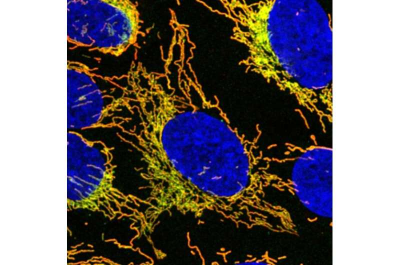 New research on why mutations in a gene leads to mitochondrial disease