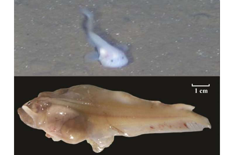 New snailfish genome reveals how they adapted to the pressures of deep-sea life