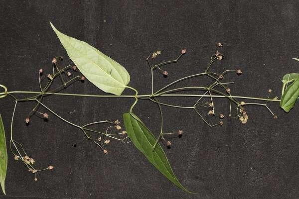 New species of milk weed family found in Mount Emei