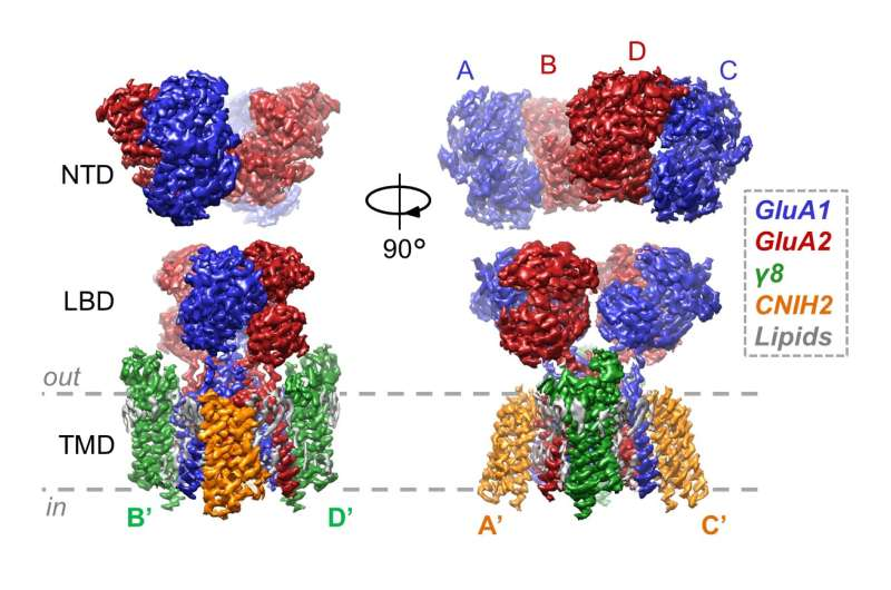 New structures show how auxiliary subunits modulate hippocampal AMPA receptor neurotransmission