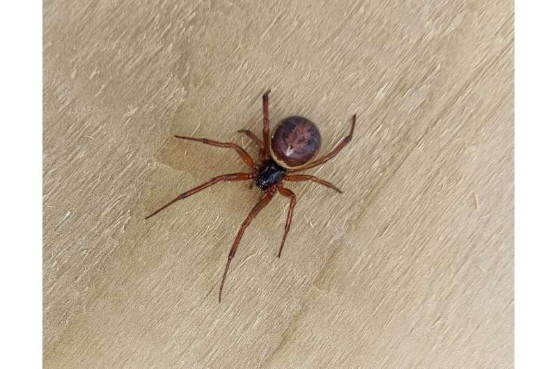 New study confirms noble false widow spiders bites can result in hospitalization