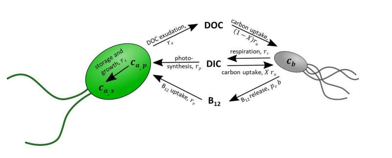 New study shows never before seen nutrient exchanges between algae and bacteria