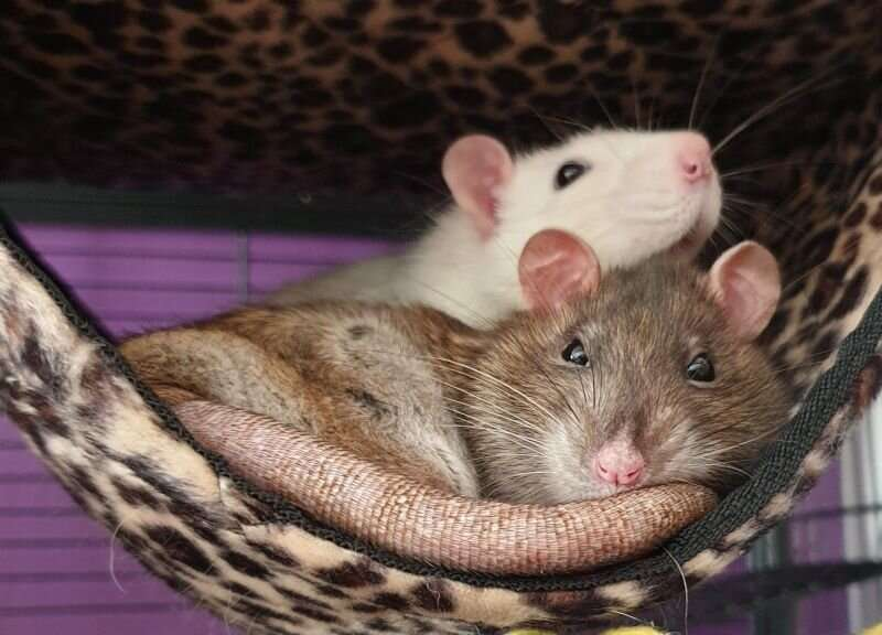 New study shows rats can make friends