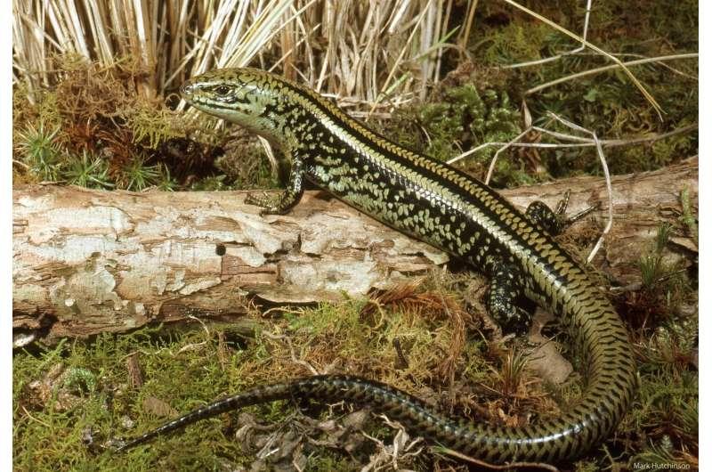 New Australian fossil lizard