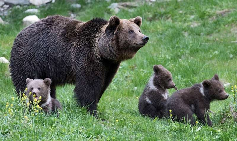 Newborn bears next to their mother at the Aran Park in the Spanish Pyrenees village of Bossost in 2016