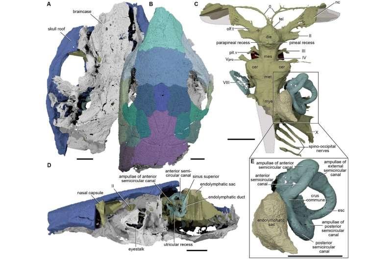 New findings on devonian 'platypus fish' cast light on evolution of modern jawed vertebrates