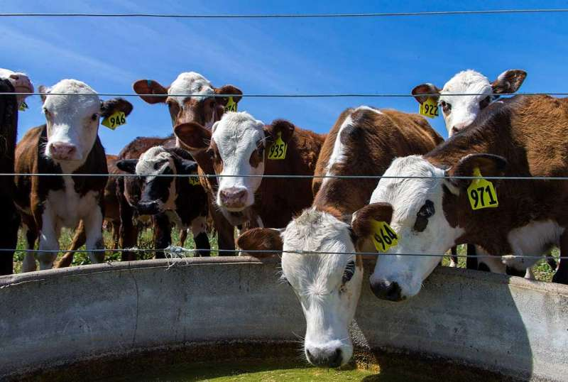 New leptospirosis research calls for stronger vaccination uptake in dry stock farming