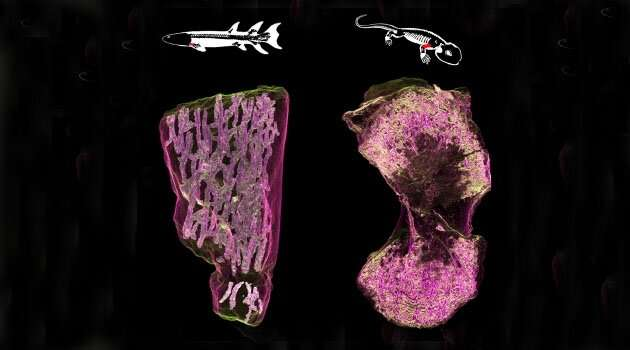 New light shed on the early evolution of limb bone marrow