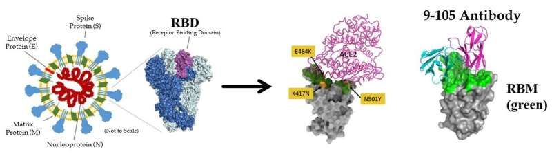 Newly generated monoclonal antibodies effective against SARS-CoV-2 and variants