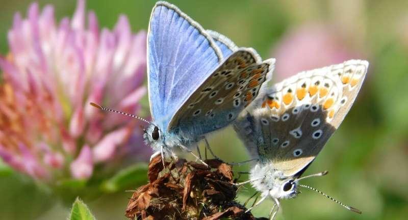 La mariposa recién introducida podría generalizarse en Canadá