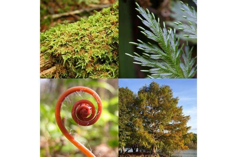 Nuevo conjunto de sondas desentraña la historia evolutiva del segundo grupo más diverso de plantas terrestres