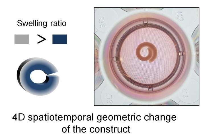 New shape-changing 4D materials hold promise for morphodynamic tissue engineering