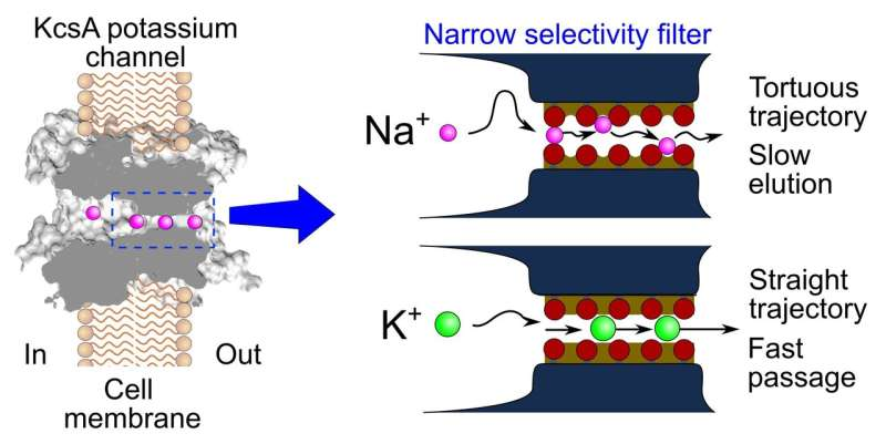 New study challenges 'established' mechanism about selectivity of cellular ion channels