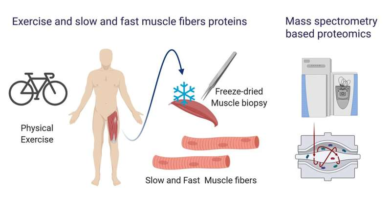 New technology reveals fast and slow twitch muscle fibers respond differently to exercise