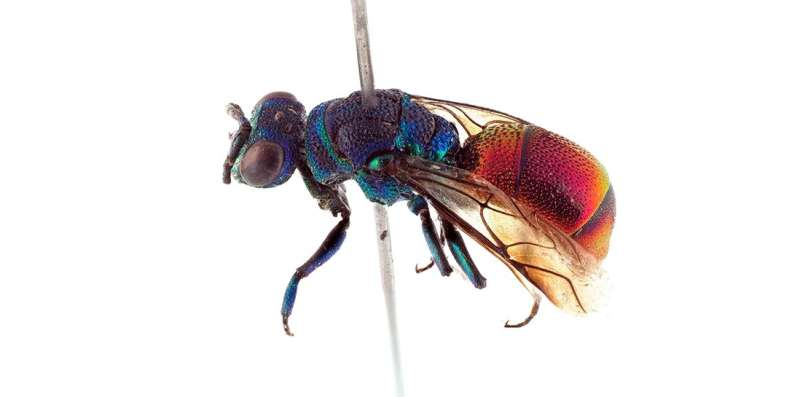 New wasp species discovered in Norway