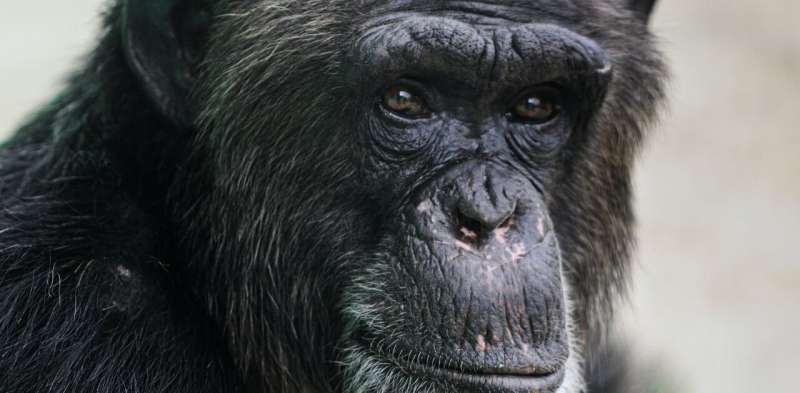 NFTs by chimpanzees, like 1950s primate art, raise questions about the nature of creativity