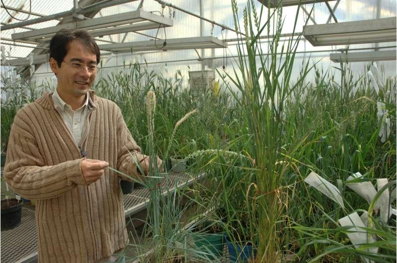 Los trigos eficientes en nitrógeno pueden proporcionar más alimentos con menos emisiones de gases de efecto invernadero, muestra un nuevo estudio