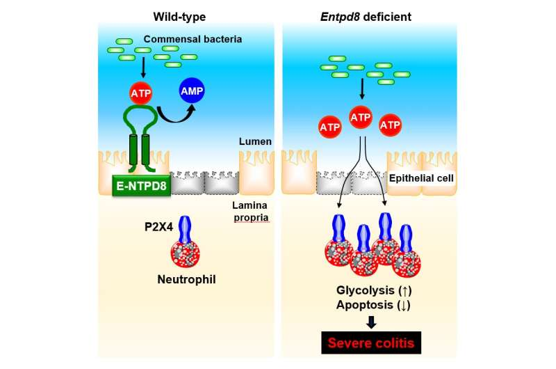 No more aggravation: ATP-hydrolyzing ectoenzyme E-NTPD8 attenuates colitis
