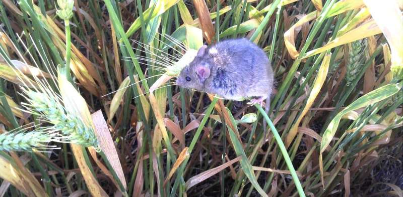 'No one ever forgets living through a mouse plague': the dystopia facing Australian rural communities