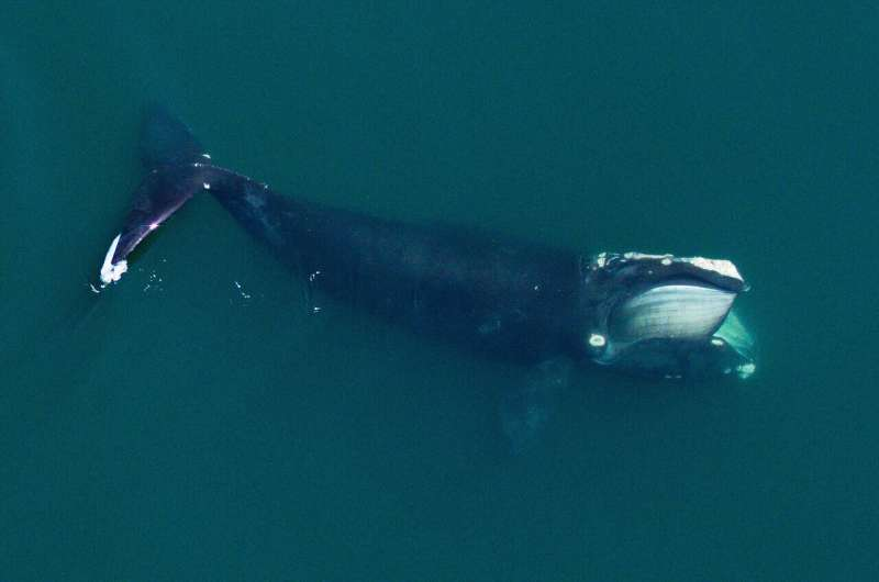 North Atlantic right whales have gotten smaller since the 1980s