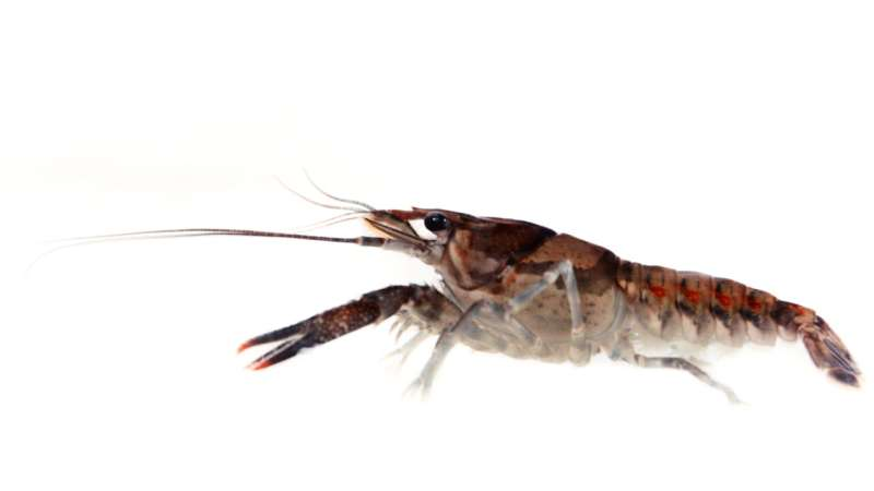 Not acting like themselves: Antidepressants in environment alter crayfish behavior