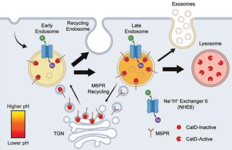 Un nuovo meccanismo cellulare fa luce sulle cause del disturbo dello sviluppo infantile
