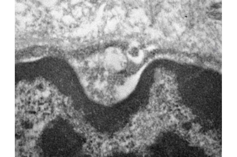 Novel coronavirus infects and replicates in salivary gland cells