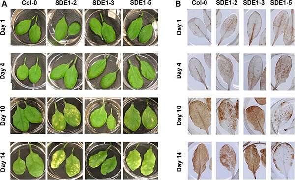 Novel effector biology research provides insights into devastating citrus greening disease