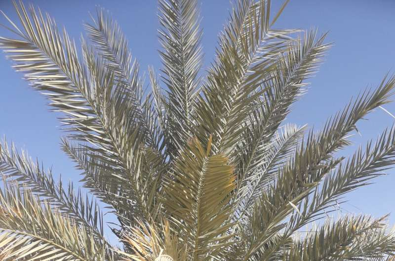 NYUAD study sequences genome of extinct date palms germinated from 2,000 year-old seeds