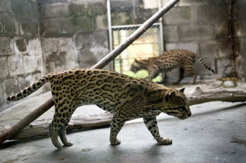 Ocelots (like these pictured in 2015 at a center in Colmbia before their return to the wild) are found in the rain forest across