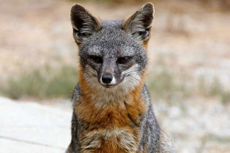 """On the """"Island of the Blue Dolphins,"""" a glimmer of hope for a rare fox species"""