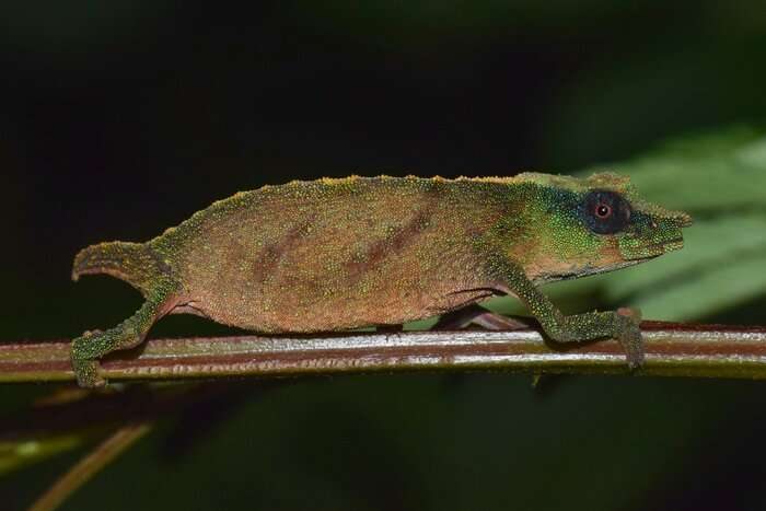 One of world's rarest chameleons found clinging to survival