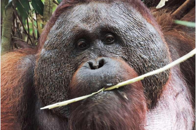 Orangutan finding highlights need to protect habitat