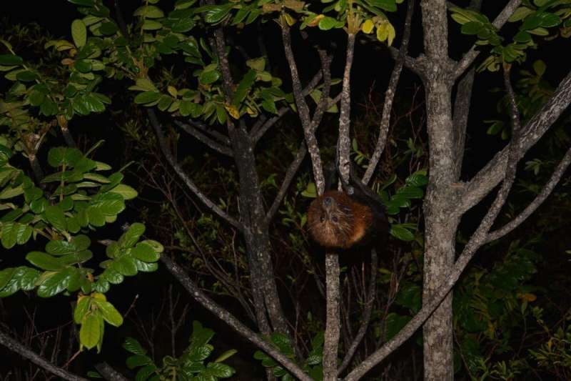Pacific Island bats are utterly fascinating, yet under threat and overlooked. Meet 4 species