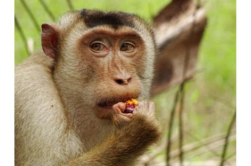 Palm oil plantations change the social behavior of macaques