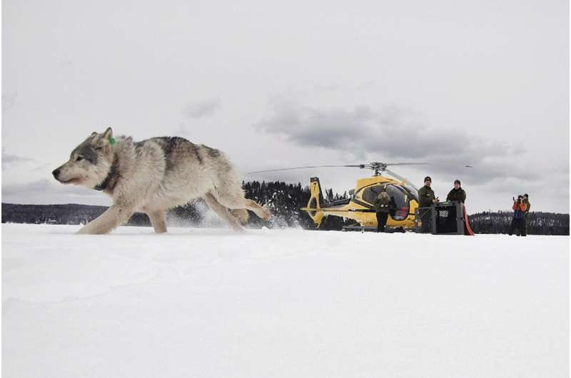 Pandemic interrupts longtime Isle Royale wolf, moose study