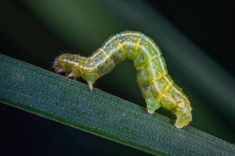Compañeros en el crimen: plaga agrícola que depende de las bacterias para superar las defensas de las plantas