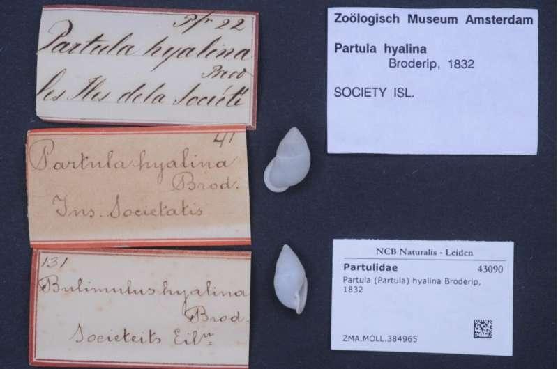 Partula (Partula) hyalina Broderip, 1832