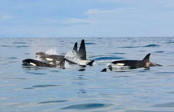PCB contamination in Icelandic orcas: a matter of diet