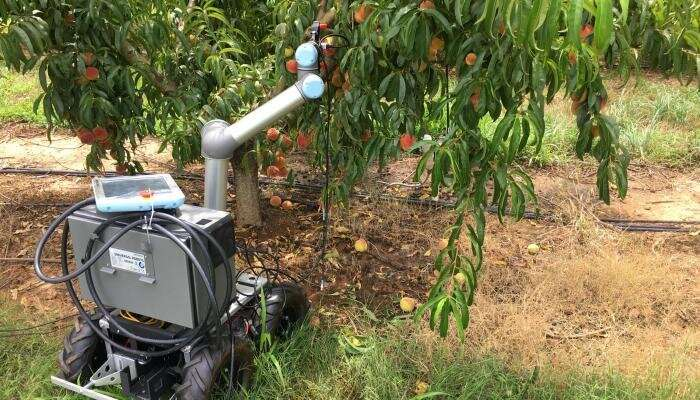 Peachy Robot: A Glimpse into the Peach Orchard of the Future