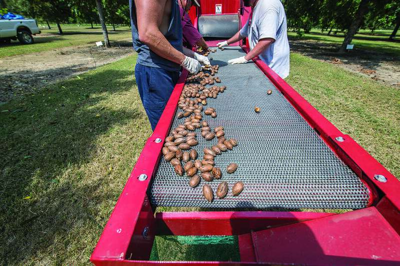 Pecan-enriched diet shown to reduce cholesterol
