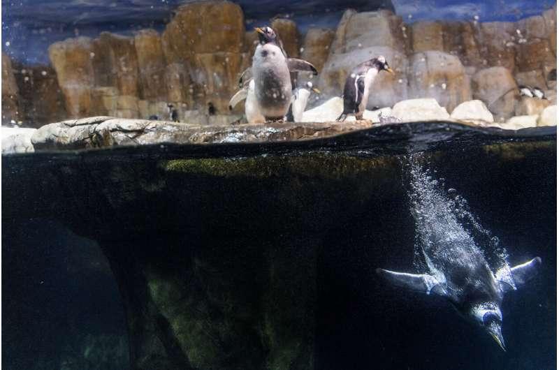 Penguin hemoglobin evolved to meet oxygen demands ofdiving
