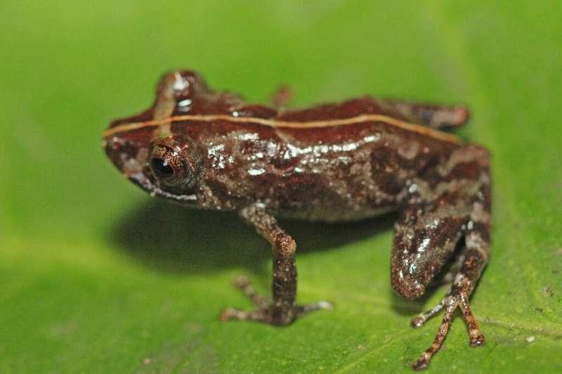 Peru has announced a new frog species