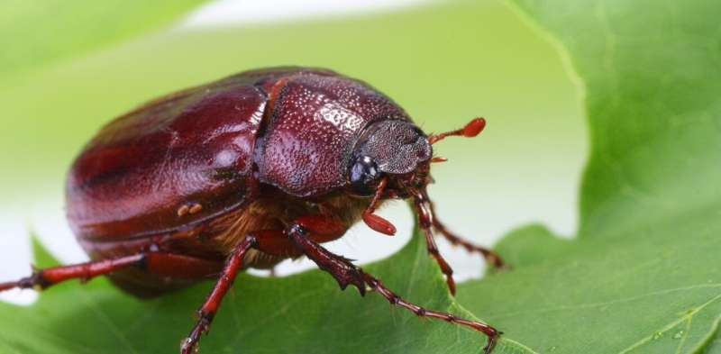 Pest ... or snack? June bugs are the 'croutons of the sky'