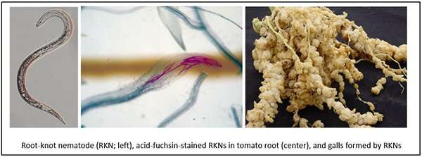 Phytol may be promising for eco-friendly agrochemicals to control root-knot nematodes