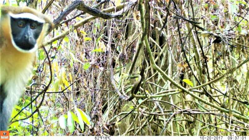 Picture perfect: Camera traps find endangered dryas monkeys