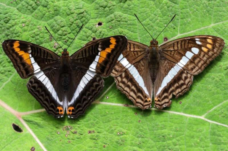Pictures of the Adelpha corcyra and Adelpha alala butterflies pictures in Colombia's Antioquia department
