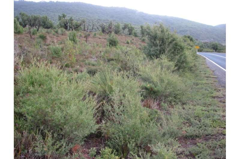 Planning to plant an Australian native like wattle? You might be spreading a weed