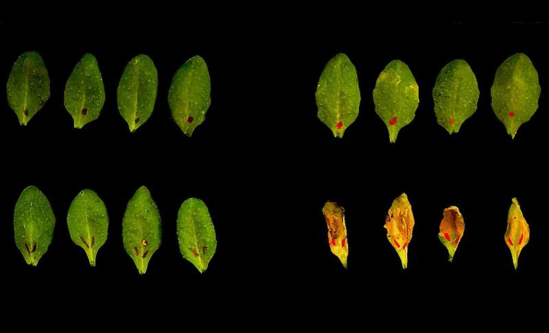 Plant immunity requires two-step detection of invaders