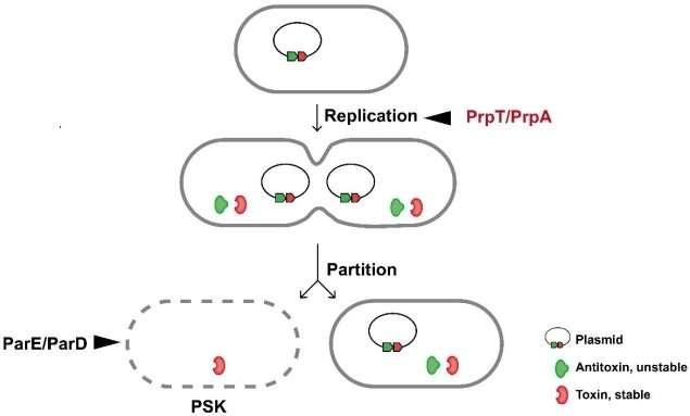 Plasmid-encoded toxin-antitoxin system directly controls plasmid replication: study